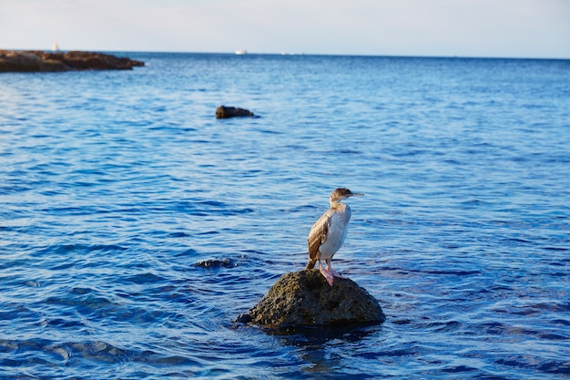 Cormorant bird in mediterranean denia rock