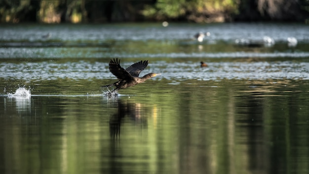 Cormorant flapping their wings before flying in a lake