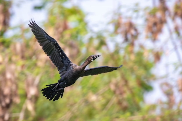 Cormorant or shag. a bird flying. animals.