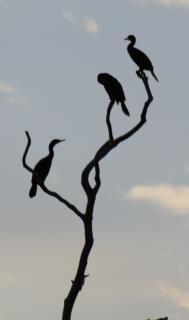 Cormorants birds, branch