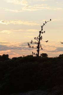 Cormorants birds, clouds
