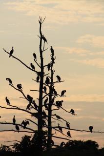 Cormorants birds, cormorant, branch