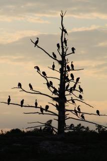 Cormorants birds, sunset