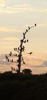 Cormorants birds