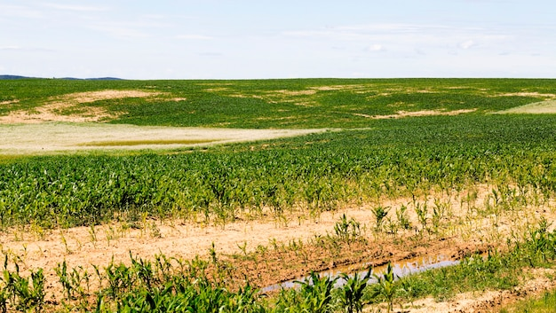 Corn in the agricultural field