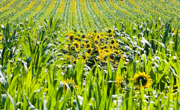Кукуруза и подсолнухи