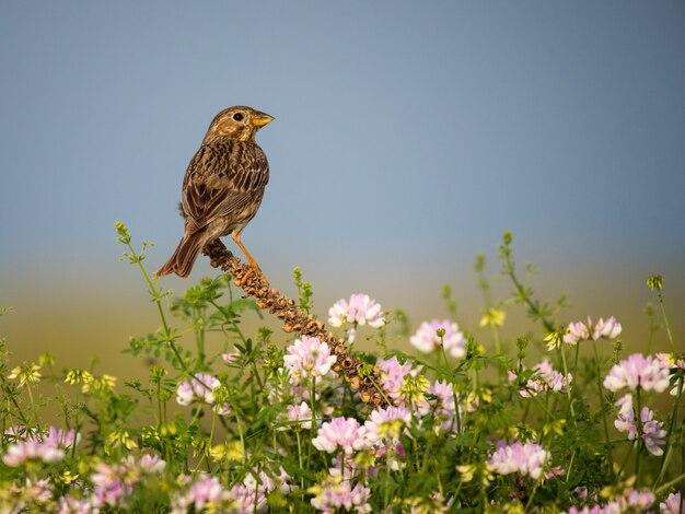 Кукурузная овсянка сидит на цветах в весеннем поле