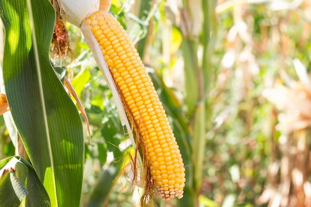 Corn cob in the field ,collect corn crop.