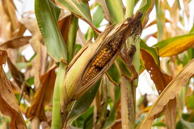 Corn cob with pest on plantation.