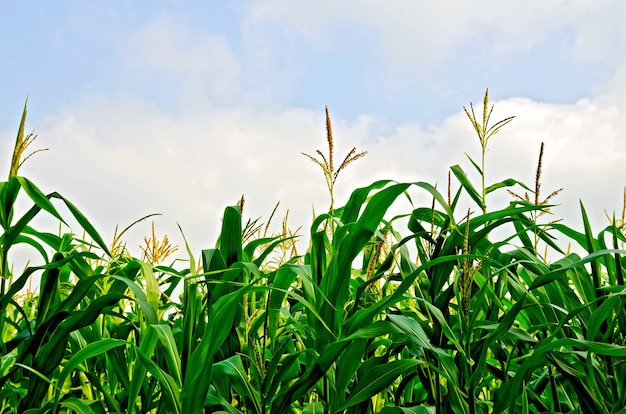 Corn in a corn field on a background of blue sky and white clouds