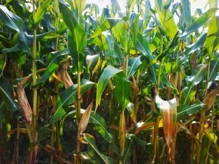 Corn  corncobs