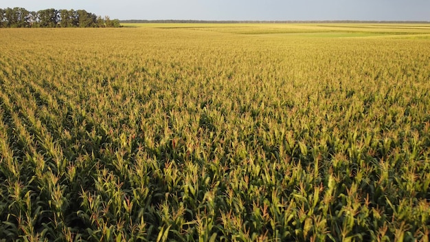 Corn crops in agricultural fields. flight over the cream of corn, a look at the ripening of the harvest