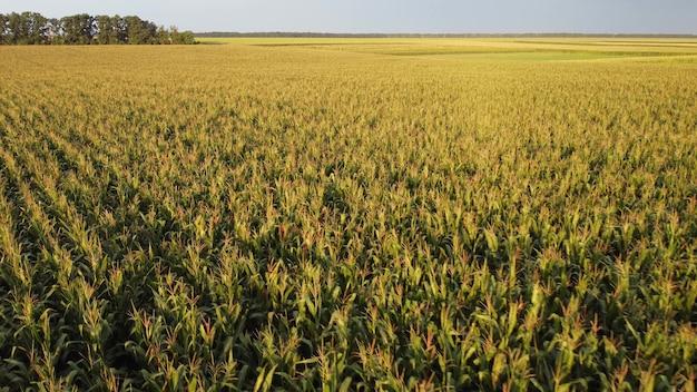 농업 분야의 옥수수 작물. 옥수수 크림 위로 비행, 수확의 익어가는 모습