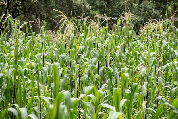 Corn cultivation in open field