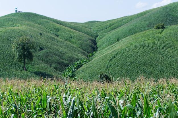 青い空と夕日の背景と丘の上のトウモロコシ農場