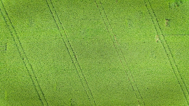 Corn field. aerial view, cultivated maize crops.