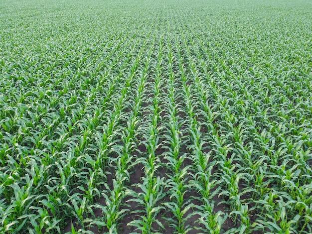 옥수수 밭 조감도, 녹색 옥수수 평면도의 행