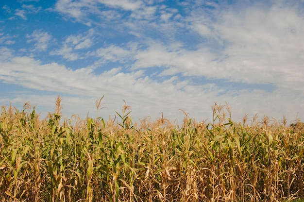 Corn field against the blue sky with clouds