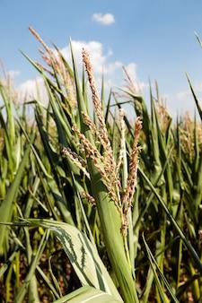 옥수수 밭, 농업-녹색 미성숙 옥수수가 자라는 농업 분야