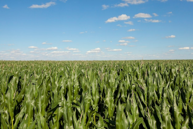 Corn field, agriculture agricultural field on which grow green immature maize