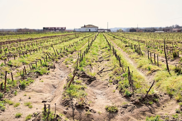 옥수수 밭은 이미 자르고 수확하고 배경에는 오래된 담배 건조기, 농업 옆 농가