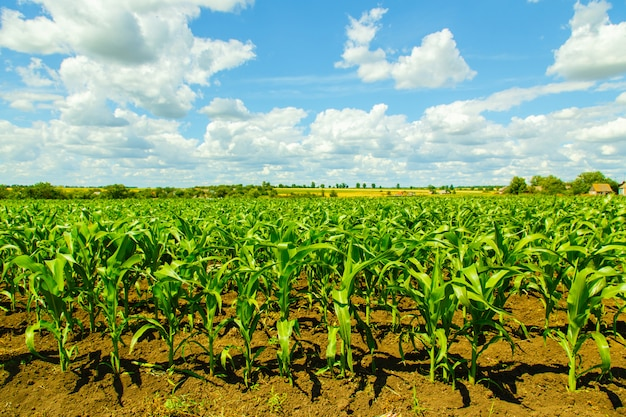 Corn field on a cloudy sky