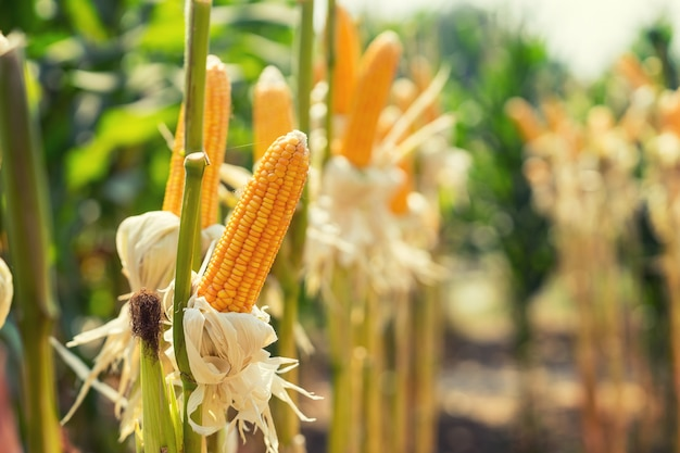 Maize Vectors, Photos And PSD Files
