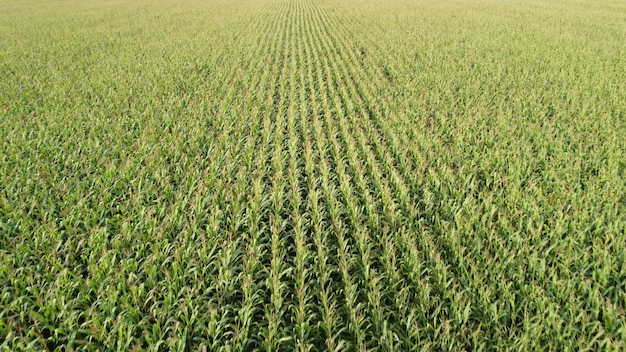 Corn field, drone flying over the green stalks of corn during ripening.