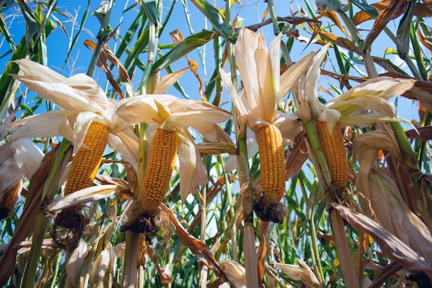 Corn in the field during the ripening period