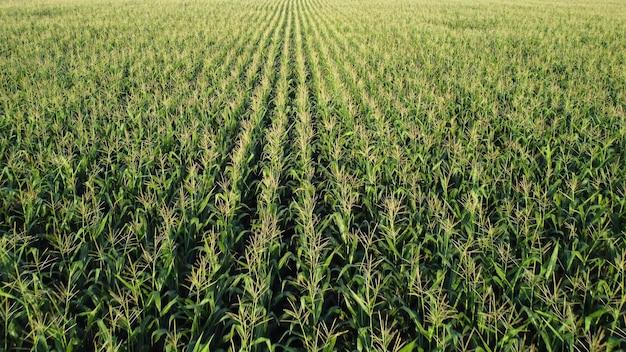 Corn field, flight over the tips of corn stalks, excellent growth, good corn harvest