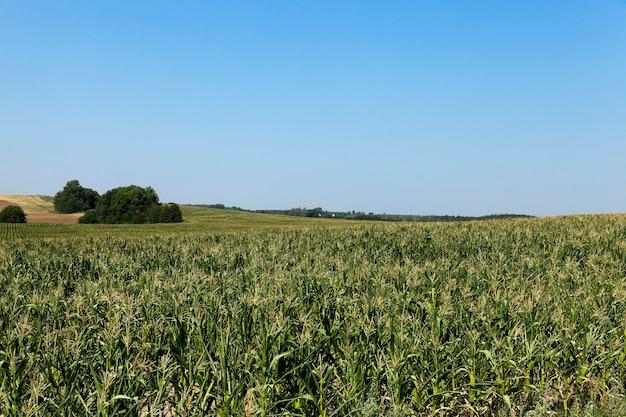Кукурузное поле, лес, сфотографированный летом, незрелое зеленое поле с кукурузой, лес на заднем плане, голубое небо