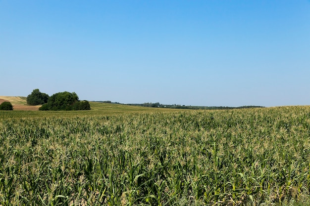 Corn field, forest photographed in the summer unripe green field with corn, forest in the background, blue sky