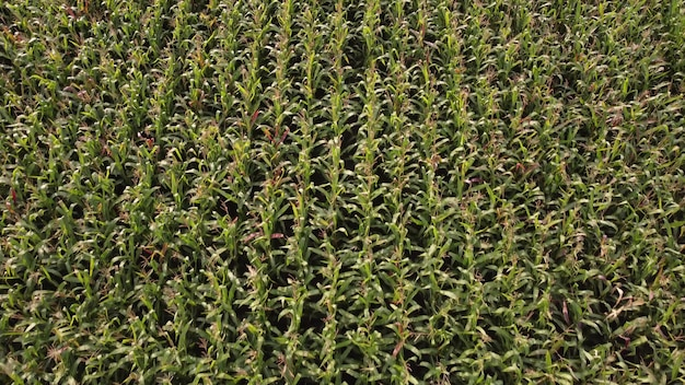 Corn field, green stalks of corn ripening on an agricultural plantation.