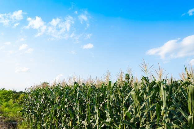 晴れた日のトウモロコシ畑、青い曇り空と農地のトウモロコシの木