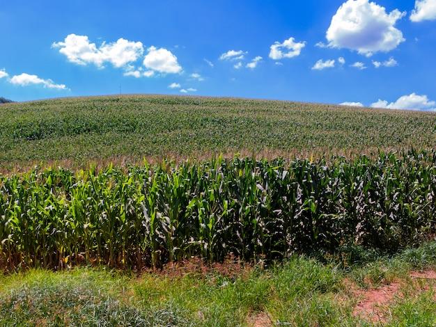 ブラジルのトウモロコシ畑