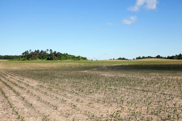 トウモロコシ畑、夏-緑の未熟なトウモロコシ、青い空のある農地