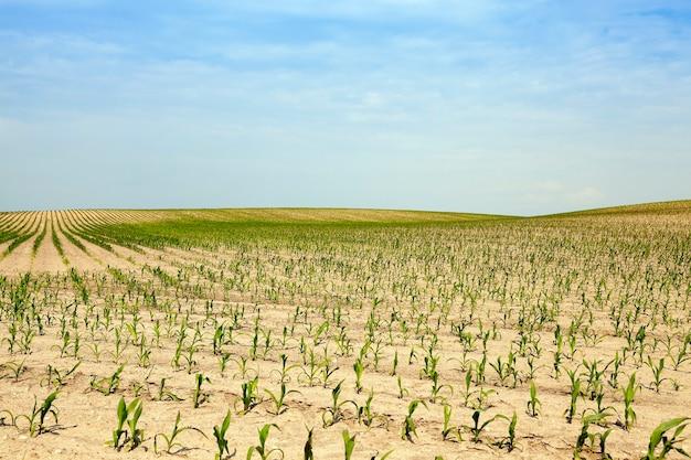 농업 분야에서 옥수수 밭 여름 옥수수 설 익은 녹색 옥수수 여름