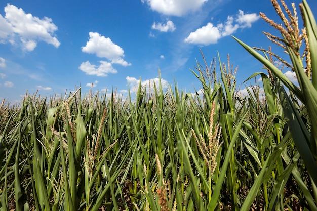Кукурузное поле, летняя кукуруза в сельскохозяйственном поле