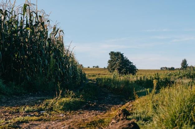 옥수수 밭, 멕시코의 일출.