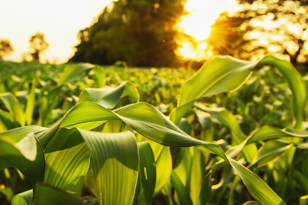 Corn field and sunset. agriculture concept