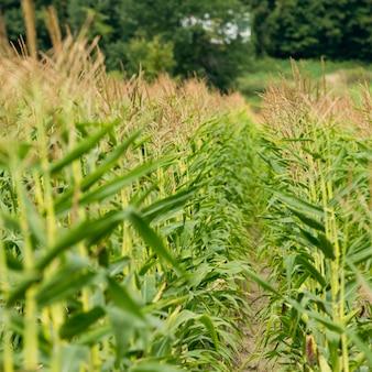 Corn field in thurso, quebec, canada