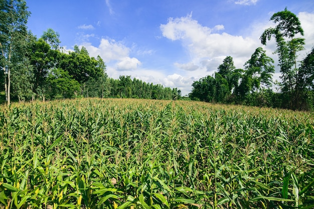 Corn field view of agriculture