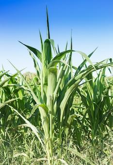 青空のトウモロコシ畑