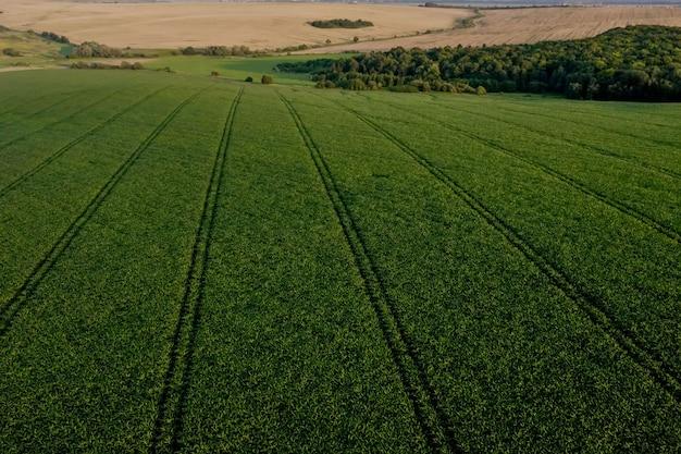 日没時の肥沃な土壌に若い植物が植えられたトウモロコシ畑。