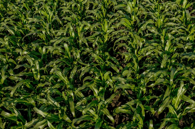 日没時の肥沃な土壌に若い植物とトウモロコシ畑