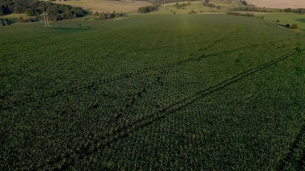 Кукурузное поле с молодыми растениями на плодородной почве на закате.