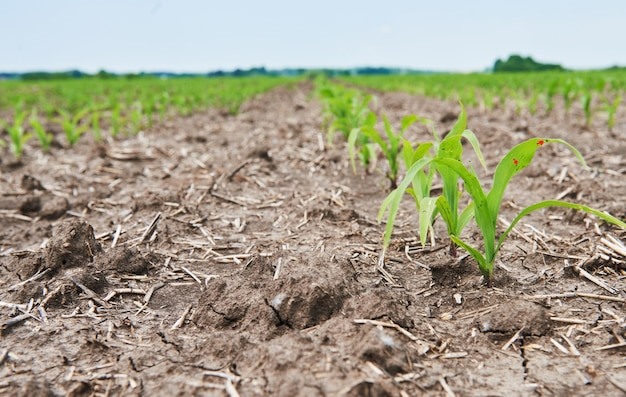 トウモロコシ畑:太陽の下で育つ若いトウモロコシ。