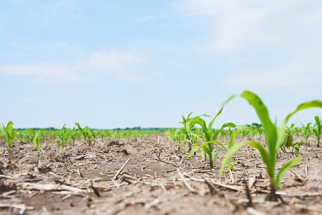 Corn field: young corn plants growing in the sun.
