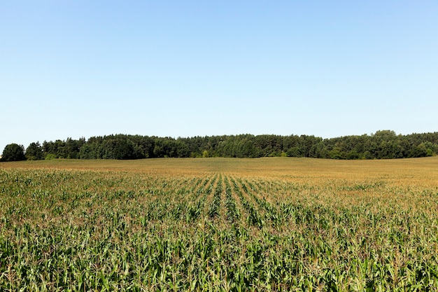 옥수수 밭