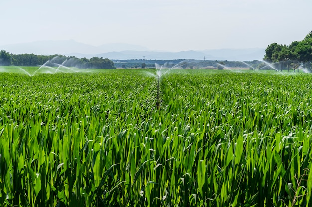 Corn fields in cycling path of llagostera being watered.
